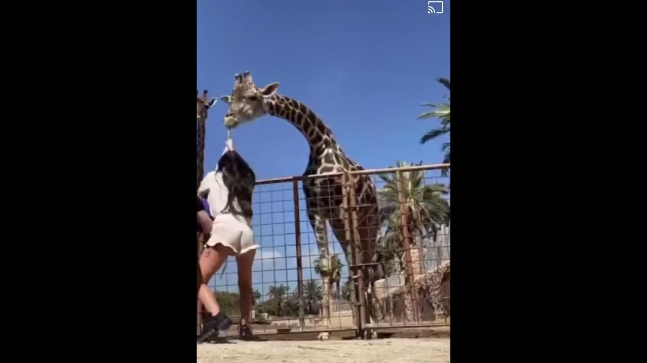 Giraffe is Funny and The parents is worry